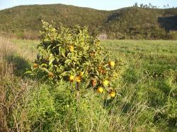 mandarinier-portugal.jpg