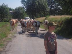 vaches-en-balade-Boffres-Ardèche.jpg